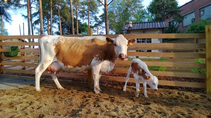 Iirsi-lehmä Kielo-vasikkansa kanssa Särkänniemen Koiramäessä. Koiramäki, Doghill @ Särkänniemi #sarkanniemi #tampere, visit: http://www.sarkanniemi.fi