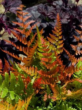 Fern Autumn Brilliance; Brought this after finding it here on Pinterest.  Note that the bronze color is the new growth in the Spring.  But it is evergreen and grows in shade! I have it with my purple and variegated coral bells.