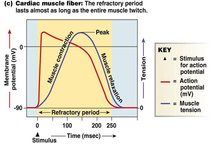 Human Medical Physiology: Q&A : Absolute vs. Refractory period of cardiac muscle cells .