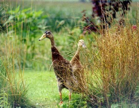 Ich finde Laufenten einfach charmant, lustig anzusehen mit ihren langen Hälsen und hervorragende ökologische Schneckenvertilger :-)
