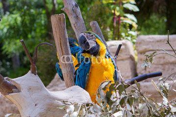 Ara bleu et jaune - Zoo de la Palmyre (Img.9841)