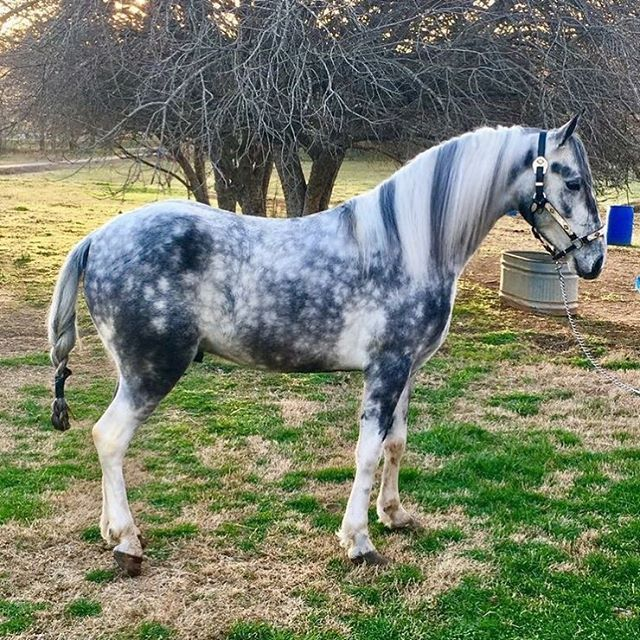 Wow! Amazing color! Dappled Grey horse.