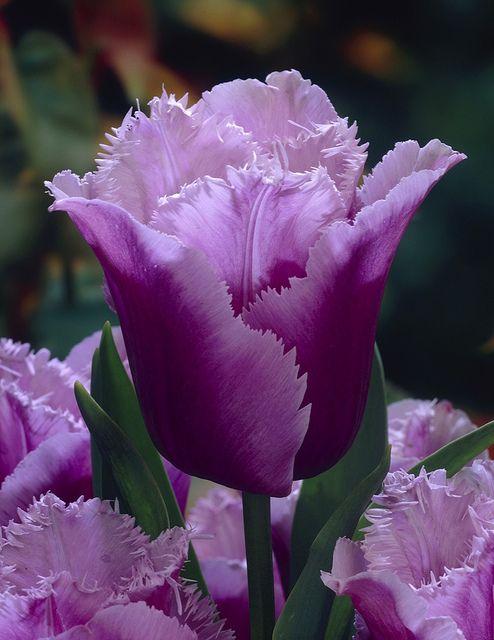 #Flowers | #flower | #Purple #Tulip