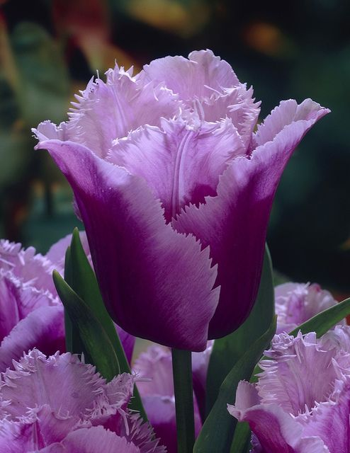 """Tulpe """"Blue Heron"""" Elite-Sortiment by Pressebereich Dehner Garten-Center, via Flickr"""