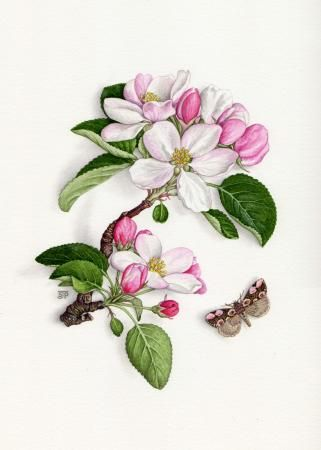 Apple blossom and peach blossom moth, Botanical/natural history, Sally-jane Perrin, SAA Professional Members' Galleries
