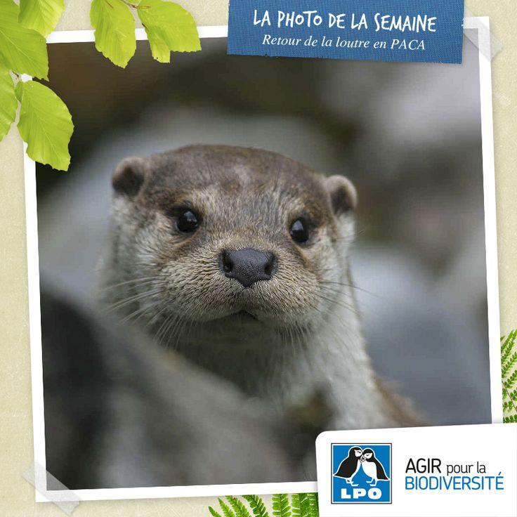 Après avoir disparu de la région PACA et depuis son retour avéré en 2009, la Loutre est actuellement dans une phase de recolonisation spontanée. Un retour suivi sur le terrain par un réseau de naturalistes coordonné par la LPO PACA dans le cadre d'un Plan National d'Action Loutre 2010-2015. http://www.lpo.fr/actualite/retour-de-la-loutre-en-paca  Loutre d'Europe © Alain Bertrand