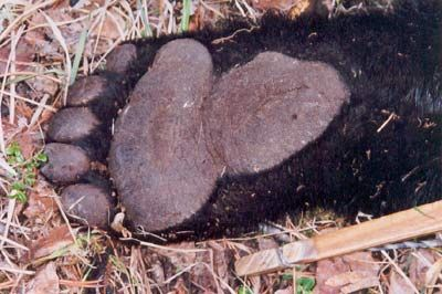 The Bear Facts - 25 Things Every Black Bear Hunter Should Know | Big Game Hunt