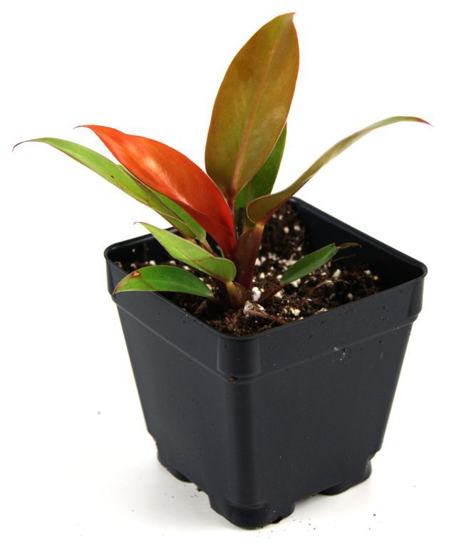 Live Terrarium Plants for sale at Josh's Frogs are animal safe and perfect for a vivarium or terrarium. Save money and buy live terrarium plants at Josh's Frogs!