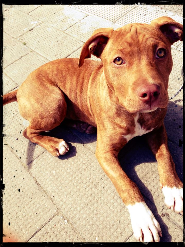 Dea #pitbulllove #pitbull #rednose