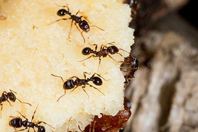 Sugar Ant Pest Control - How to Eliminate the Problem - http://apolloxpestcontrol.com/sugar-ant-pest-control/