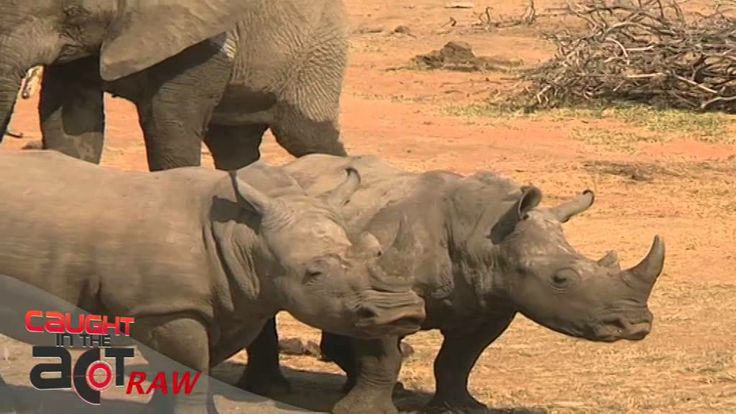 Elephant bullies Rhino [Caught in the Act RAW]