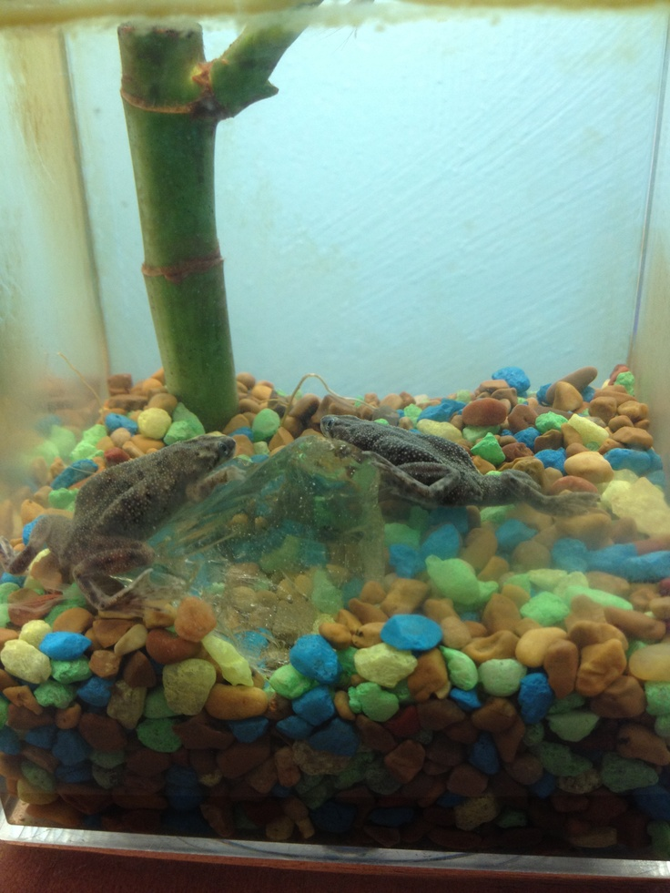 21 best african dwarf frogs images on pinterest dwarf for Fish tank frogs