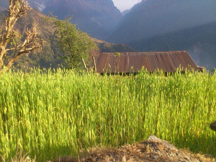 Barley fields in Ghandruk #trekking #Gurung #village #Ghandruk #Ghandrung #hospital #travel