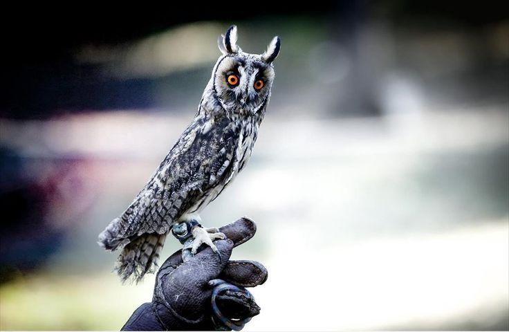 Επίδειξη με ημερόβια και νυχτόβια αρπακτικά πτηνά στο Βοτανικό Κήπο