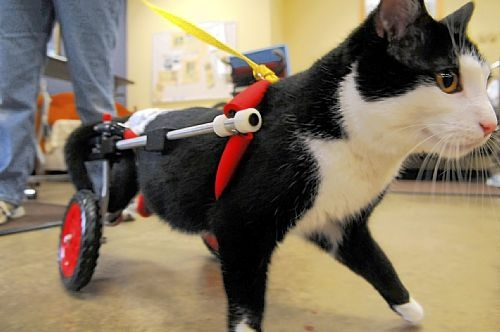 Although his hind legs are paralyzed, Scooter regularly volunteers as a therapy cat, visiting patients who are battling their own difficulties and disabilities.  Second Hope Circle helps special needs pets in Ontario find homes through promotion, education and funding! www.secondhopecirle.org