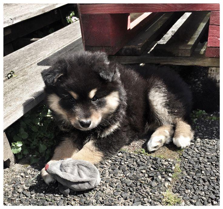 #Lapinkoira #Finse lappenhond #puppy