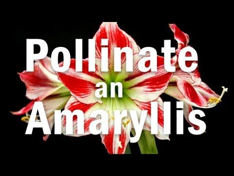 How to Pollinate an Amaryllis Flower