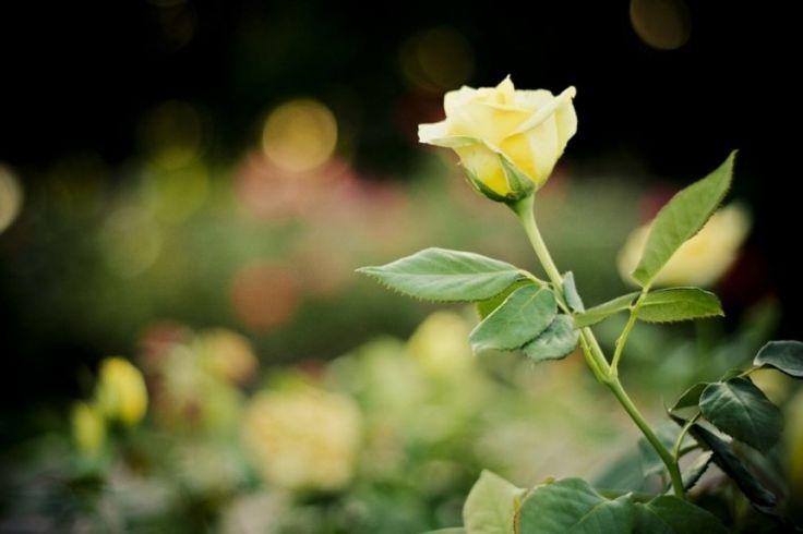 Mi a teendő ősszel a rózsával?