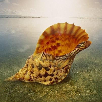 "Large Caribbean Triton Seashell (9-10"") - Charonia Tritonis"