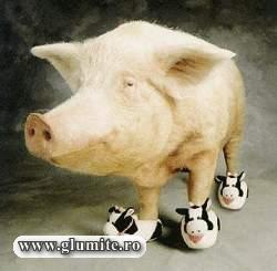Poze Animale-Adidas Pig Bancuri glume poze - Glumite.ro