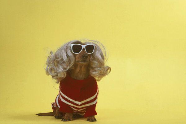 Dog with wig and sunglasses