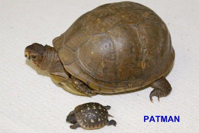 9 Best Turtles Images On Pinterest Box Turtles Turtle