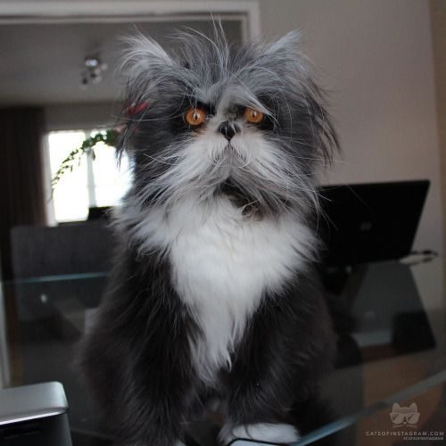 From @atchoumfan: Hello my name is Atchoum a hairy but not scary Persian kitten and I have a very rare congenital condition called hypertricosis also known as werewolf syndrome. It means I have a hormonal condition that causes fast and continual hair growth!I love life and love sharing my adventures every day with you!  #catsofinstagram [source: http://ift.tt/1Rggopz ]