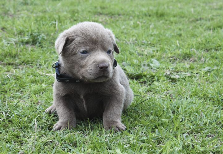 Light Silver Lab Puppies for Sale 003