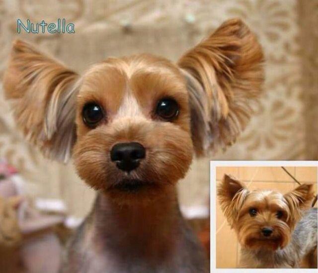 Cut Yorkie Designer Haircut For Yorkies Female