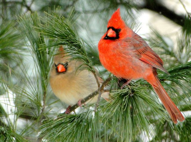 Mate for life. Is there something to learn here? Northern Cardinal male and female by Erythrocephalus, via Flickr