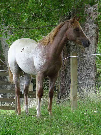 Sportaloosa & Appaloosa horses for sale at Sparkling Acres Sportaloosa & Appaloosa Stud - Skiptified