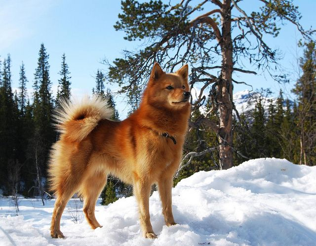 The Finnish Spitz originates from Finland and was bred originally for hunting birds and small game. It's origins can be dated back to antiquity.