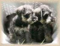 Quality Miniature Schnauzers Miniature Schnauzer Puppies For Sale