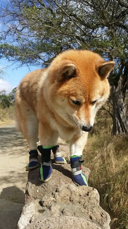 Kitsune the Shiba Inu loves to go hiking in Hawaii. We keep her paws safe with little dog booties. Love Shiba Inus? Learn more about this breed at www.myfirstshiba.com