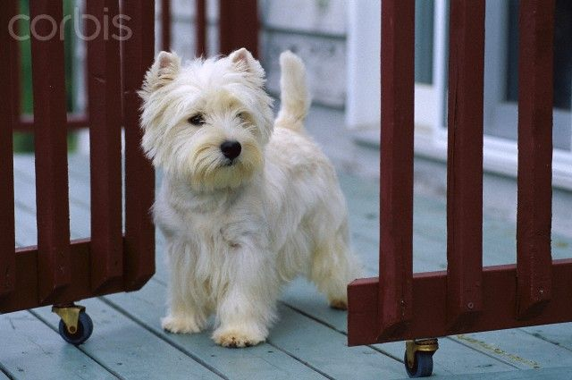 West Highland White Terrier Breeders Qld 1000+ images about Dog...
