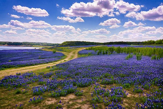 Landscape Photography Texas Bluebonnets Fine Art Photograph on Kodak paper, shimmering metallic paper, or as an Archival Giclee' Print