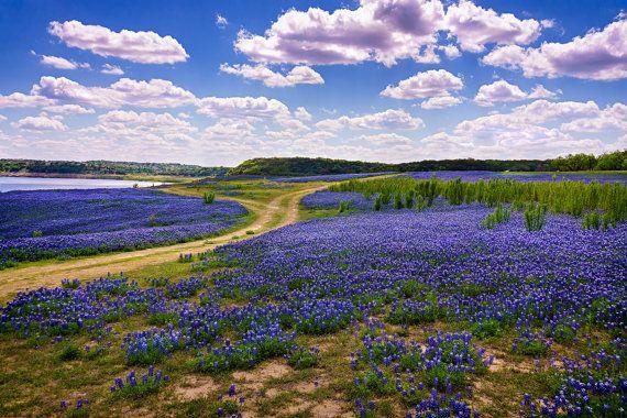 Landscape Photography Texas Bluebonnets Fine Art Photograph on Kodak paper, shimmering metallic paper, or as an Archival Giclee' Print