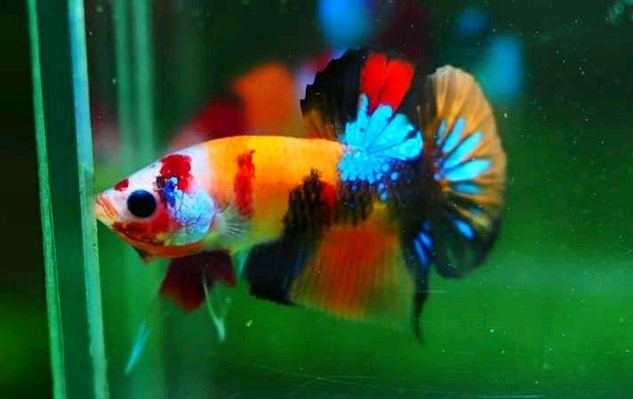 Nemo Galaxy Ikan Cupang Ikan Hiasan