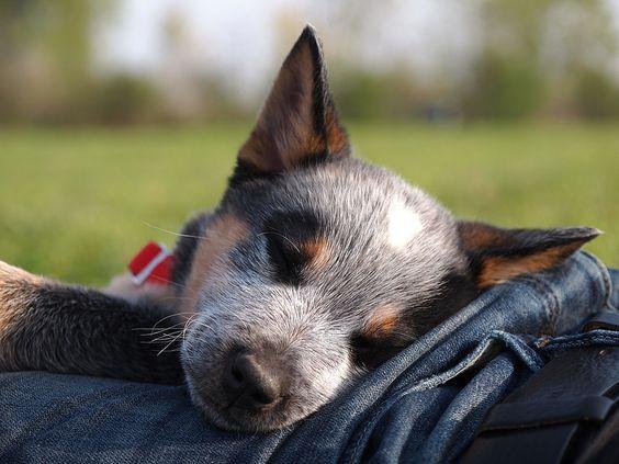 Australian Cattle Dog...All Sweetness...When Asleep... :): Dogs Blue Heeler, Cattle Dogs Heelers, Animals Dogs, Healers Heelers, Blue Heelers, Australian Cattle Dog, Heeler Dog, Red Heeler, Acd S Heelers