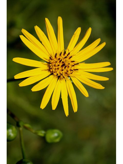 29 best images about native perennials