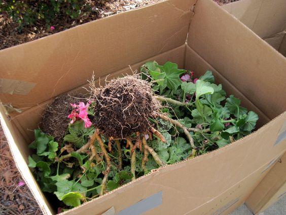 ~Het overblijven van geraniums: schut de grond eraf en plaats ze op hun kop in een kartonnen doos of zak. Bedek ze met kranten. Zet ze koel en donker weg zonder ze te laten bevriezen. Laat ze hierin tot de lente en plant ze in verse potgrond. Binnen een week zal de plant nieuwe scheuten geven. Knip de eerste zes weken niets af en de plant zal 2 maal zo groot groeien~