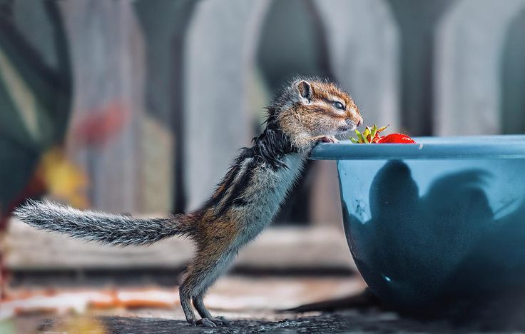 Chipmunk Find A Strawberry Photograph by Oksana Ariskina on @pixels and @fineartamerica Cute wild animals! Buy print and other product with my fine art photography online: www.oksana-ariskina.pixels.com    #OksanaAriskina  #FineArtPhotography #HomeDecor #FineArtPrint #PrintsForSale #Chipmunk #Nature #Funny #squirrel #wildanimals #funny #humor #howdoyoupixels