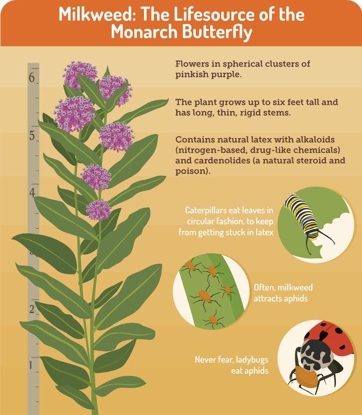 Gardening for Butterflies: Milkweed