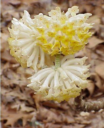 Edgeworthia chrysantha - Buisson papier - Pépinière, plantes, jardinerie, vente en ligne