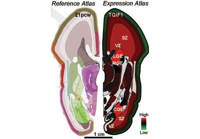 The recently created BrainSpan Atlas of the Developing Human Brain incorporates gene activity or expression (right) along with anatomical re...