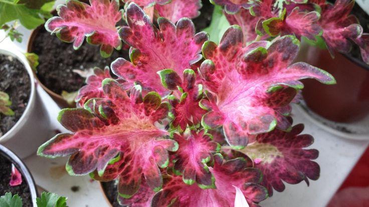 Колеус (Coleus) - Цветочный форум