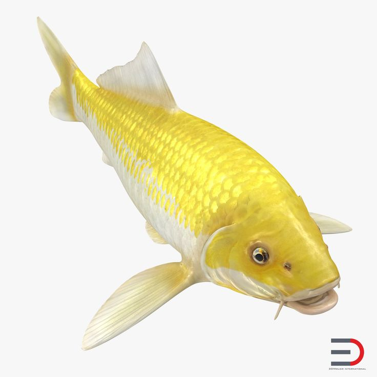 3D Yellow Koi Ogon Fish model