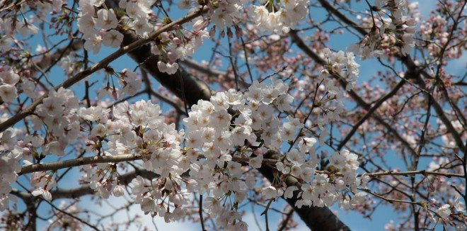 Sakura : les cerisiers en fleurs du Japon: Cerisiers En, Cherries Blossoms, Japan, Favorite Places, Cherries Trees, Cerisiers Du, Produce Cherries, Japan Cherries, Cherry Blossoms
