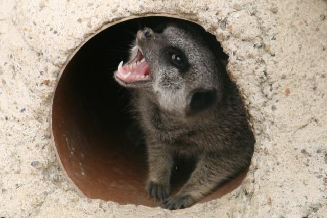 #KnockhatchCaption #meerkat : Do you have a caption for this photo? >>>