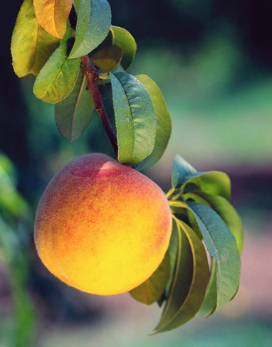 Only peaches should have peach fuzz! Come by our booth at The Parker County Peach Festival tomorrow for some free sunscreen and a chat with Mary Anne about our laser hair removal treatment!